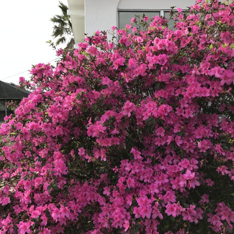 azaleas . carolyn friedlander